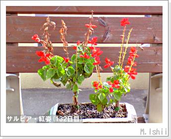 花のペット栽培(サルビア・紅姿)23