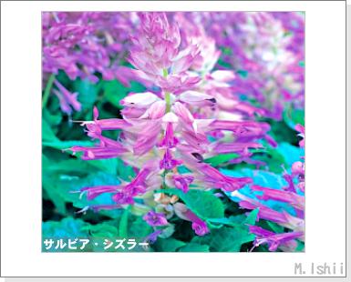 花のペット栽培II(サルビア)02