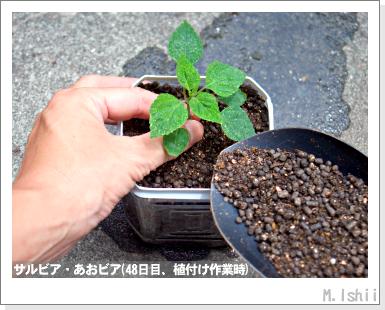 花のペット栽培II(サルビア)12