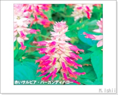 花のペット栽培II(サルビア)22