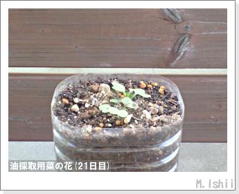 花のペット栽培(菜の花)09
