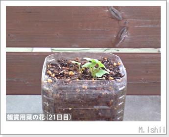 花のペット栽培(菜の花)10