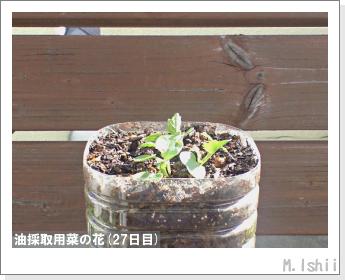 花のペット栽培(菜の花)11