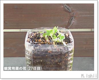 花のペット栽培(菜の花)12