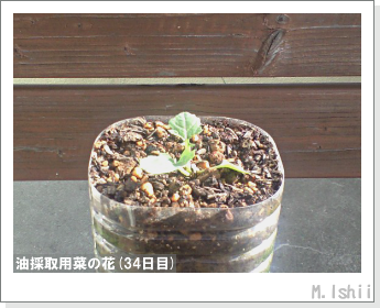 花のペット栽培(菜の花)13