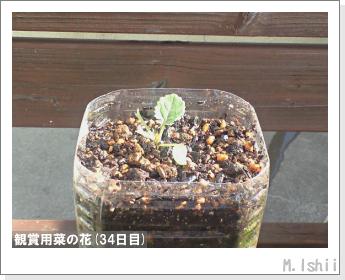花のペット栽培(菜の花)14