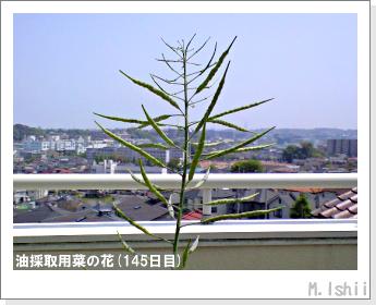花のペット栽培(菜の花)65