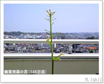 花のペット栽培(菜の花)66