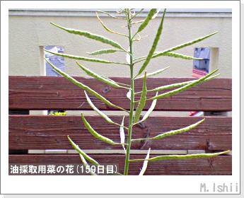花のペット栽培(菜の花)67