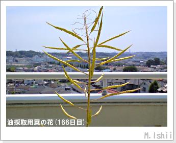 花のペット栽培(菜の花)68