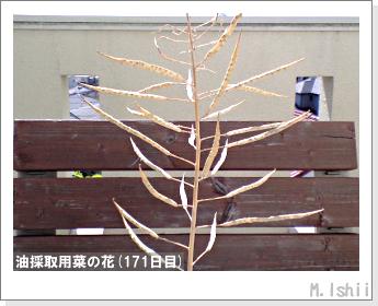 花のペット栽培(菜の花)69