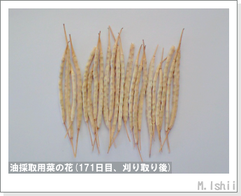 花のペット栽培(菜の花)70