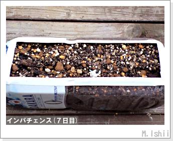 花のペット栽培(インパチェンス)03