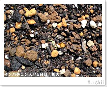花のペット栽培(インパチェンス)05