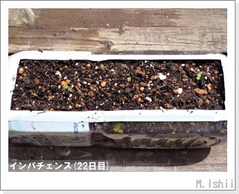 花のペット栽培(インパチェンス)06