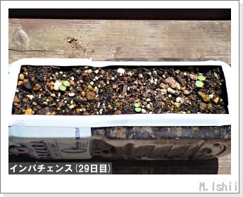 花のペット栽培(インパチェンス)07