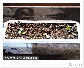 花のペット栽培(インパチェンス)08