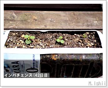 花のペット栽培(インパチェンス)09