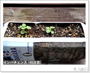 花のペット栽培(インパチェンス)10