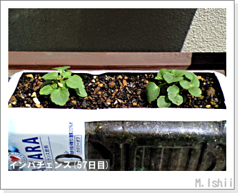 花のペット栽培(インパチェンス)11