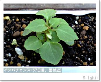 花のペット栽培(インパチェンス)12