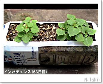 花のペット栽培(インパチェンス)13