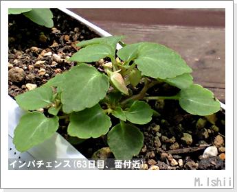 花のペット栽培(インパチェンス)14