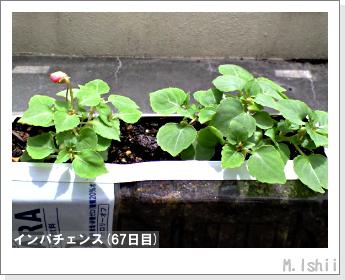 花のペット栽培(インパチェンス)15