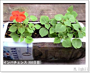 花のペット栽培(インパチェンス)16