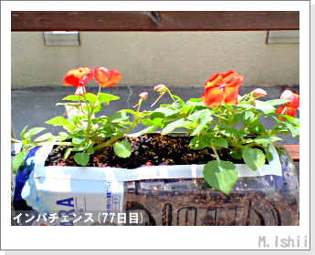 花のペット栽培(インパチェンス)17