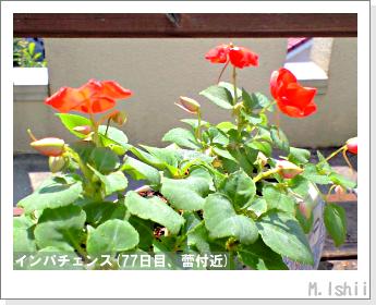 花のペット栽培(インパチェンス)18