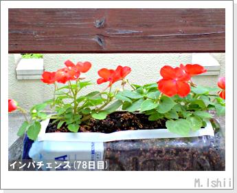 花のペット栽培(インパチェンス)19