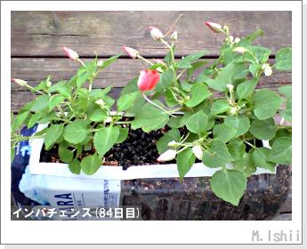 花のペット栽培(インパチェンス)20