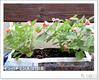 花のペット栽培(インパチェンス)21