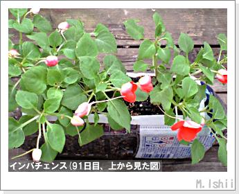 花のペット栽培(インパチェンス)22
