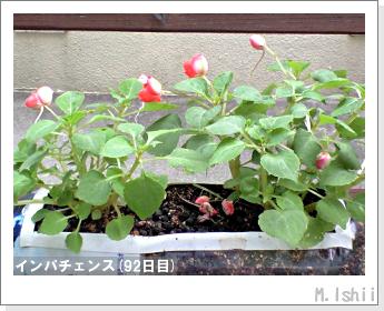 花のペット栽培(インパチェンス)23