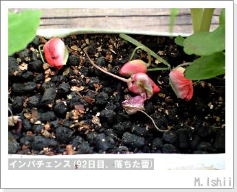 花のペット栽培(インパチェンス)24