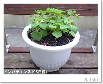 花のペット栽培(インパチェンス)26