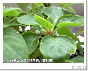 花のペット栽培(インパチェンス)27