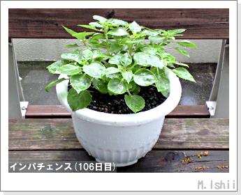花のペット栽培(インパチェンス)28