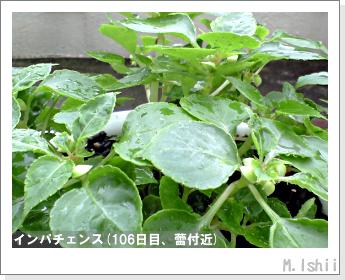 花のペット栽培(インパチェンス)29