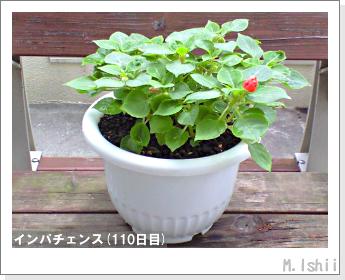 花のペット栽培(インパチェンス)30