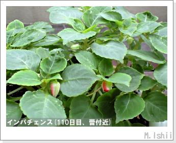 花のペット栽培(インパチェンス)31