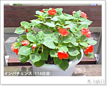 花のペット栽培(インパチェンス)32