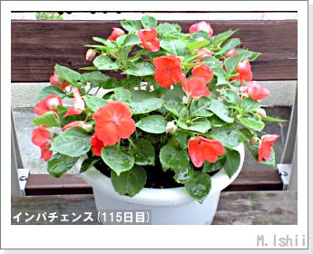 花のペット栽培(インパチェンス)33