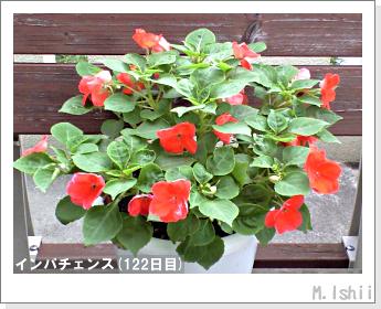 花のペット栽培(インパチェンス)34
