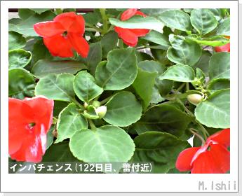 花のペット栽培(インパチェンス)35