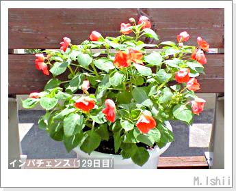 花のペット栽培(インパチェンス)36