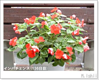 花のペット栽培(インパチェンス)37
