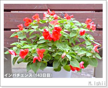 花のペット栽培(インパチェンス)38